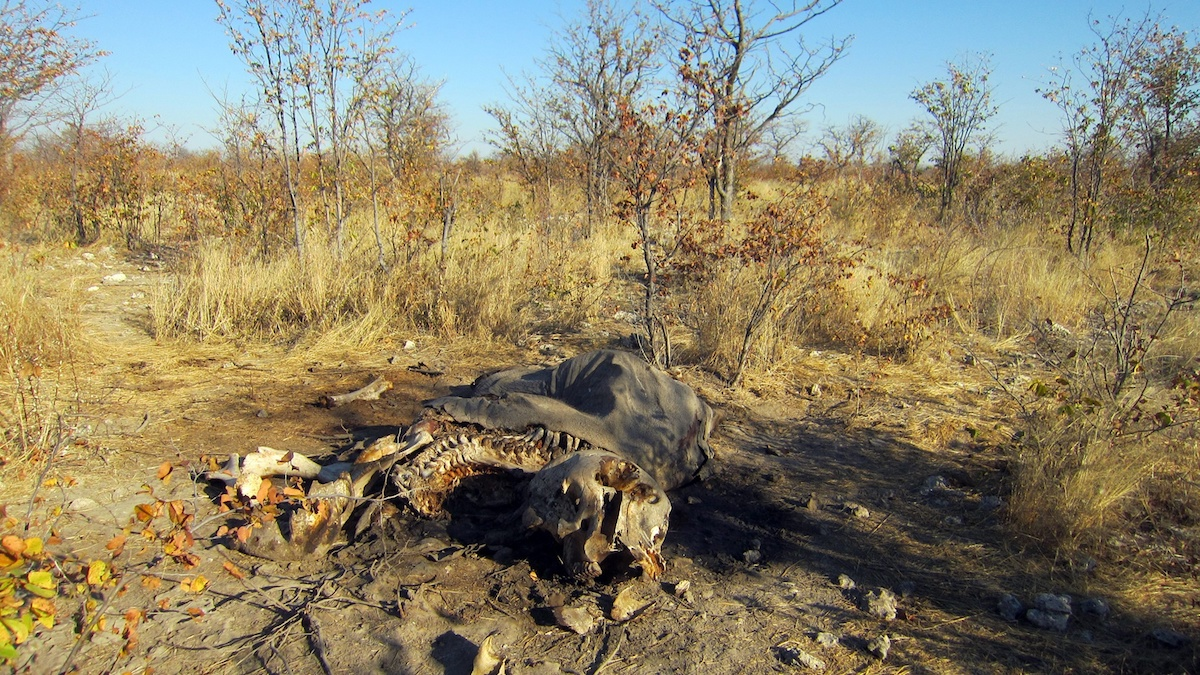 An elephant carcass