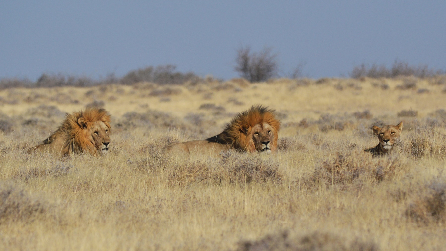 The most terrifying predators in Etosha—lions. Picture is for illustrative purposes, not the real event encountered.